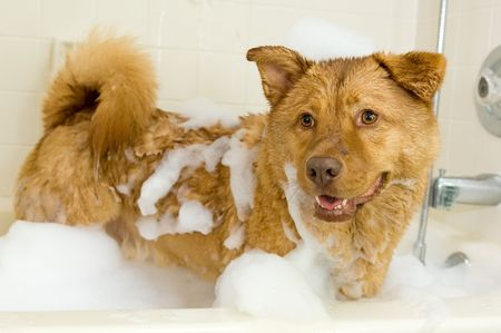 grooming: Dog in bathtub with lots of bubbles in it