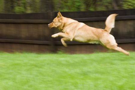 Dog running and jumping in backyard Stock Photo