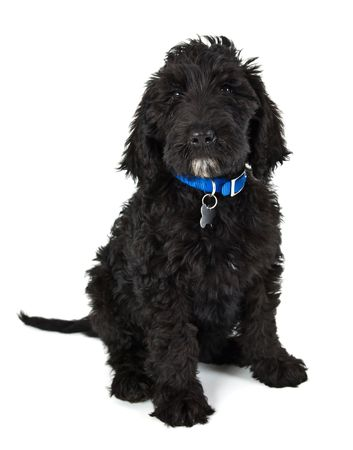 black Labradoodle puppy dog
