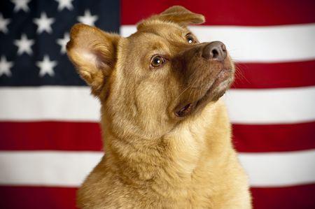 Proud American mutt Hund mit US-Flagge als Hintergrund
