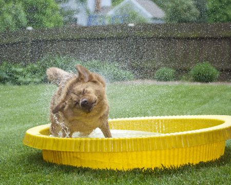 Dog in kids pool shaking out water