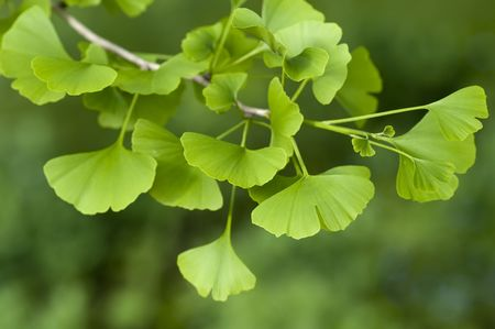 Close-up on Ginkgo Biloba tree