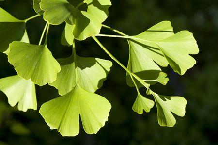 ginkgo leaf: Close-up on Ginkgo Biloba tree