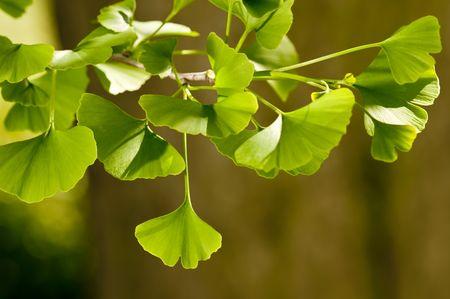 Close-up auf Ginkgo Biloba Baum Lizenzfreie Bilder