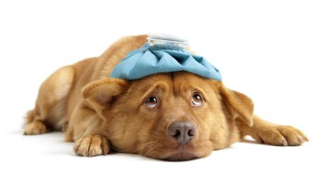 resting: Sick dog facing camera on white background