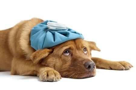 Kranken Hund seitwärts auf weißem Hintergrund Lizenzfreie Bilder