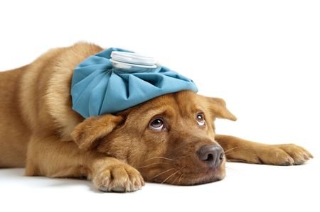Sick dog  sideways on white background Stock Photo - 5615663