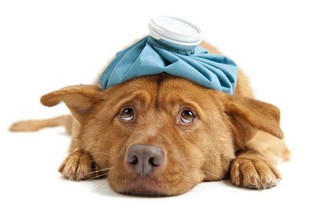 Sick dog facing camera on white background Stock Photo