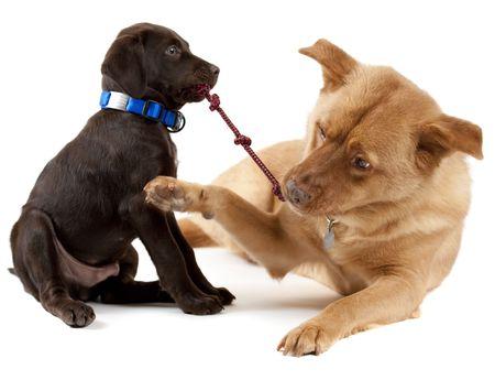 pull toy: Juego de tira y afloja con el juguete de perro cachorro de j�venes y adultos Foto de archivo