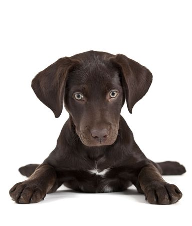 mutt: Cute puppy on white background facing camera Stock Photo