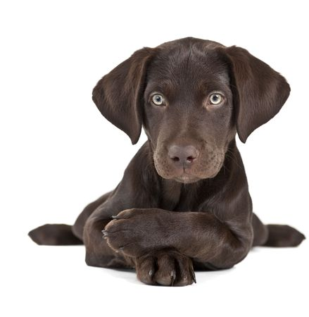 Cute Braun Puppy, die sich mit Pfoten ausgibt überschritten