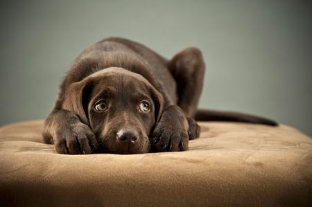 Puppy blocking its ears and looking up Stock Photo