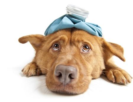 Perro enfermo, frente a la cámara de gran angular sobre fondo blanco Foto de archivo - 8290007