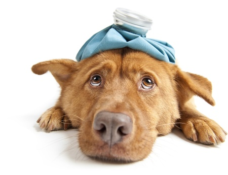 gripe: Perro enfermo, frente a la c�mara de gran angular sobre fondo blanco Foto de archivo