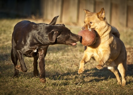 two dog playing with football in the yard. Stock Photo