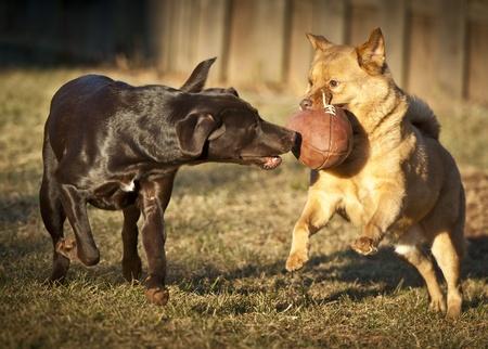 zwei Hunde mit Fußball im Hof spielen. Lizenzfreie Bilder
