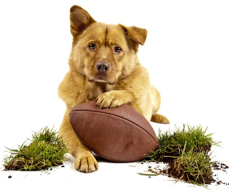 Hund, posiert mit Footbal und Gras Turf. Isolated on white