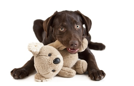 귀여운 강아지 강아지 박제 동물에 씹는입니다. 흰색 배경에 그림