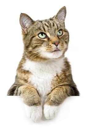 gato atigrado: Gato mirando por encima de bandera blanca Foto de archivo