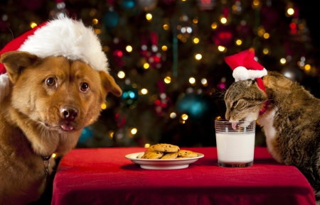 holiday pets: Cat and Dog eating and drinking Santa Stock Photo