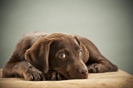 humoristic: Puppy en otomana con la mirada de piedad Foto de archivo