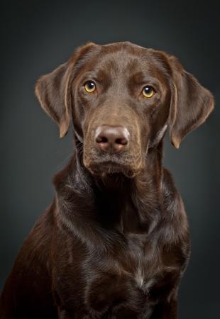 short hair dog: Mixed lab dog portrait