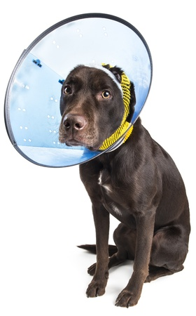 Dog sitting and wearing a collar cone to heal ear injury