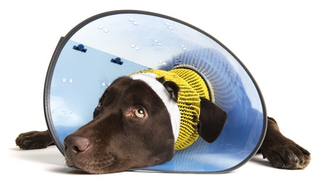Sick dog with ear injury on white background photo