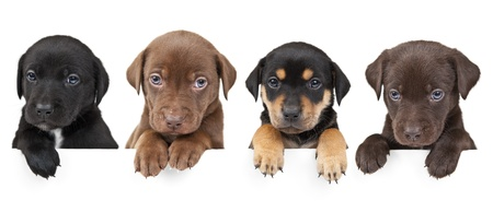 4  puppies showing their paws  above white banner Stock Photo