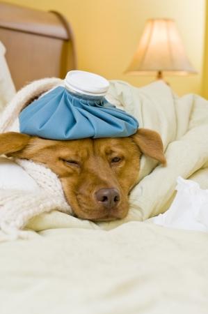 Kranker Hund im Bett mit Flasche Wasser und Gewebe.