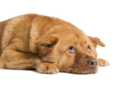 Dog lying down and looking up  Photo isolated on white background