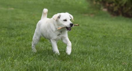 labrador retriever: Puppy dog retrieving wooden stick Stock Photo