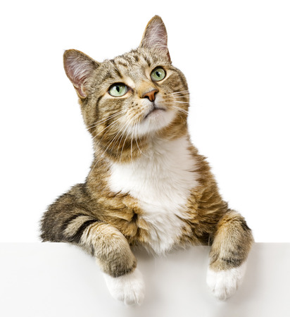 cat paw: Cat looking up above white banner Stock Photo