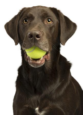 balones deportivos: Perro con pelota de tenis aislado sobre fondo blanco Foto de archivo