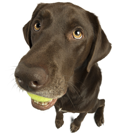 eye ball: Dog with tennis ball isolated on white background