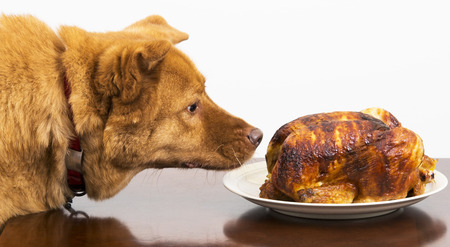 Dog about to eat rotisserie chicken at table Stock Photo