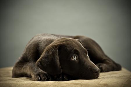 humoristic: Cachorro descansando en el otomano