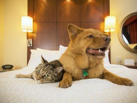 descansando: Gato y perro juntos descansando en la cama de la habitación de hotel.