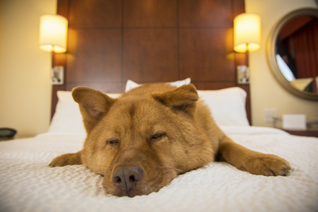 luxury hotel room: Dog half asleep on bed in hotel room