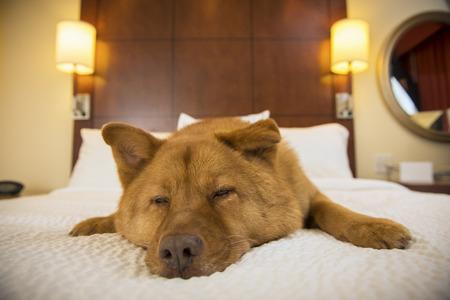 Hund im Halbschlaf auf Bett im Hotelzimmer Lizenzfreie Bilder