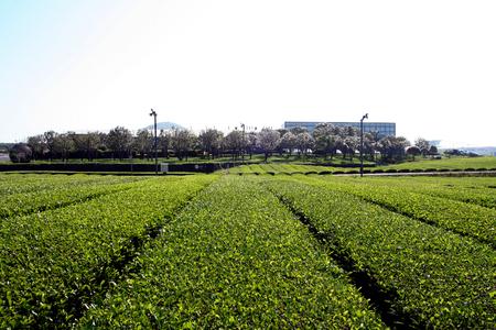 Green tea Farm in Jeju Island