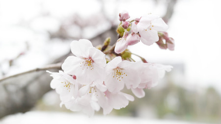 most popular: The cherry blossoms