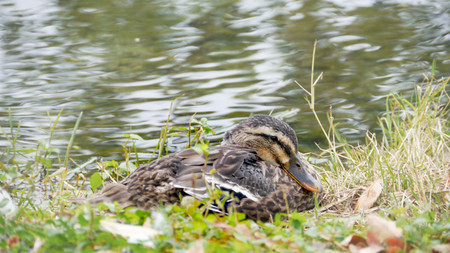 ugly duckling: Duck Stock Photo