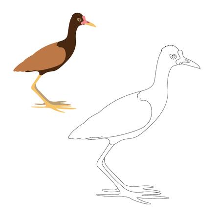 watteld jacana vector illustration