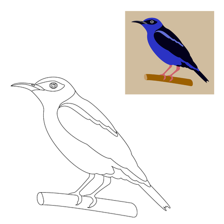 honeycreeper bird vector illustration  coloring page outline