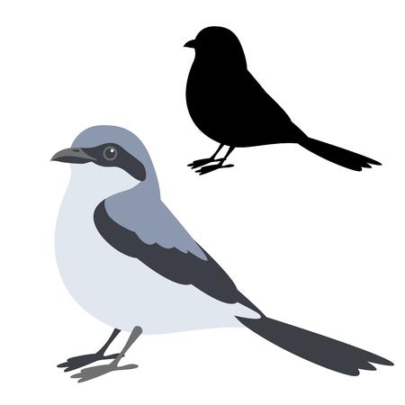 Klapekster bird vector illustration, flat style black silhouette