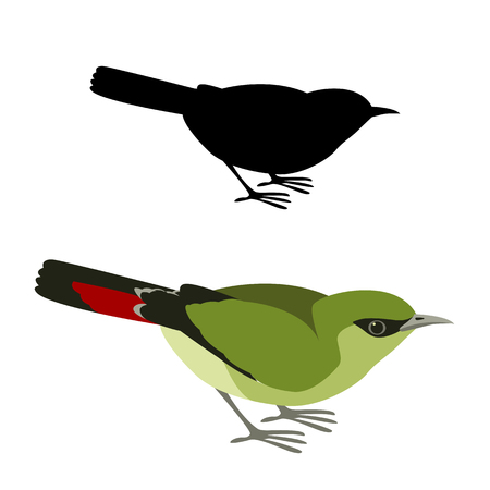 fire tailed myzonis bird vector illustration flat style black silhouette set