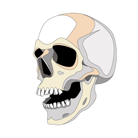 human skull vector illustration lining draw  profile side Vectores
