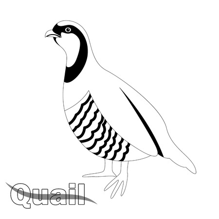 quail bird , vector illustration , profile view ,lining draw