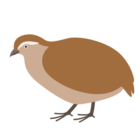 partridge,  vector illustration, flat style ,profile view  イラスト・ベクター素材